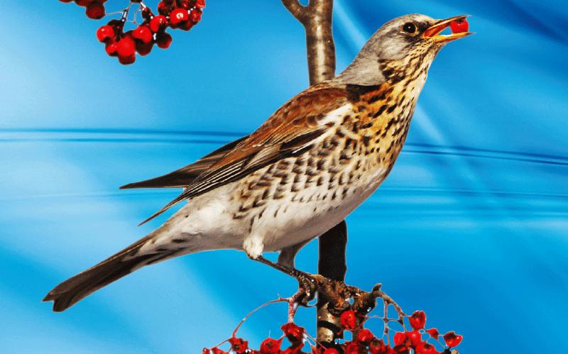 Uccelli da richiamo